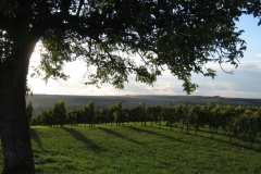 Weinberge bei Albig, Blick in Richtung Heimersheim (Photo: Chr. Donnerstag)